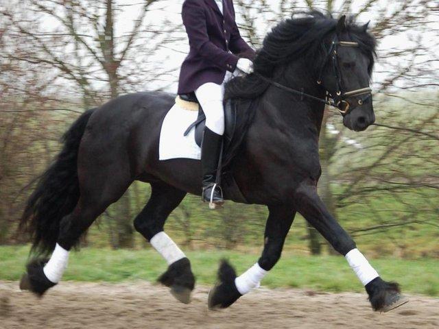 FriesianHorses eu - Black Friesian Horses for Sale - About the black